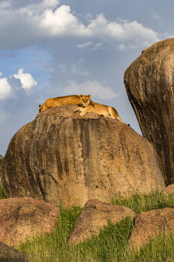 TZ3608AW Tanzania; Serengeti National Park; Simba Kopjes. Two lionesses resting up on a granite rocky outcrop called a kopje. This is a good place to find shade and to watch out for prey.