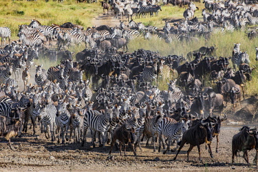TZ3615AW Tanzania, Serengeti National Park, Moru Kopjes. Massed herds of wildebeests and zebras on migration through the savanna grasslands and acacia woodlands of the Serengeti at the begining of the dry seas...