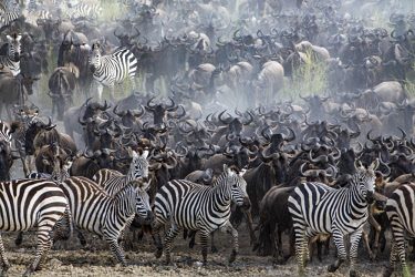 TZ3617AW Tanzania, Serengeti National Park, Western Corridor; Moru Kopjes. Massed herds of zebras and wildebeests on migration through the savanna grasslands and acacia woodlands of the Serengeti at the begini...