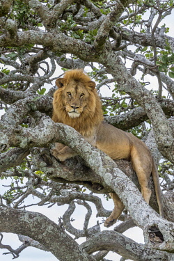 TZ3620AW Tanzania, Serengeti National Park, Seronera Valley  A male lion resting in a Kigelia or Sausage Tree. For shade perhaps, to get a better view, to avoid other lions or buffalos, to avoid biting flies.