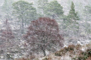 SCO35138AW Scotland, Highland, Glen Affric. Birch and Scots Pine trees of the ancient Caledonian pinewoods in blizzard conditions.