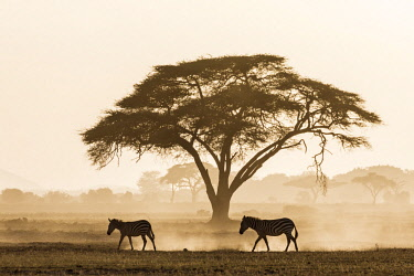 KEN10670 Kenya, Amboseli, Kajiado County.  Zebras create dusk as they walk through friable volcanic soil at dusk.