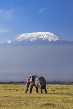 KEN10663 Kenya, Amboseli, Kajiado County.  A bull elephant with Mount Kilimanjaro in the background.