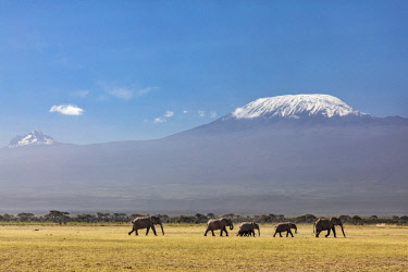 KEN10666 Kenya, Amboseli, Kajiado County.  A herd of elephants cross the plains at Amboseli with Mount Kilimanjaro in the background.