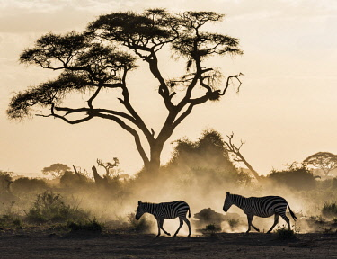 KEN10669 Kenya, Amboseli, Kajiado County.  Zebras create dusk as they walk through friable volcanic soil at dusk.