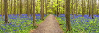 BEL1793AW Bluebell Flowers (Hyacinthoides non-scripta) Carpet Hardwood Beech Forest,  Hallerbos Forest, Belgium