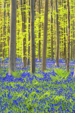 BEL1795AW Bluebell Flowers (Hyacinthoides non-scripta) Carpet Hardwood Beech Forest,  Hallerbos Forest, Belgium