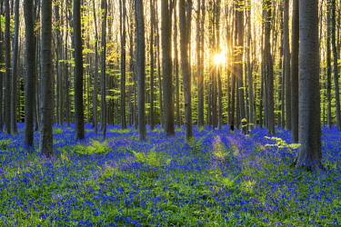 BEL1797AW Bluebell Flowers (Hyacinthoides non-scripta) Carpet Hardwood Beech Forest,  Hallerbos Forest, Belgium
