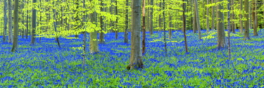 BEL1798AW Bluebell Flowers (Hyacinthoides non-scripta) Carpet Hardwood Beech Forest,  Hallerbos Forest, Belgium