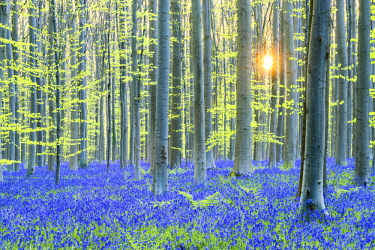 BEL1799AW Bluebell Flowers (Hyacinthoides non-scripta) Carpet Hardwood Beech Forest,  Hallerbos Forest, Belgium