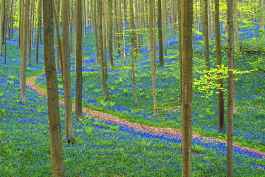 BEL1806AW Path through Bluebell Flowers (Hyacinthoides non-scripta) and Beech Forest,  Hallerbos Forest, Belgium