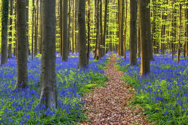 BEL1807AW Path through Bluebell Flowers (Hyacinthoides non-scripta) and Beech Forest,  Hallerbos Forest, Belgium