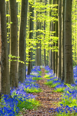 BEL1808AW Path through Bluebell Flowers (Hyacinthoides non-scripta) and Beech Forest,  Hallerbos Forest, Belgium