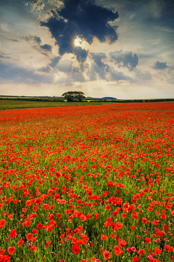 ENG15524AW Field of Poppies, North Norfolk, England