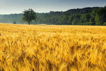 FRA10264AW Tree in Field of Wheat, Provence, France