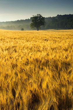 FRA10265AW Tree in Field of Wheat, Provence, France