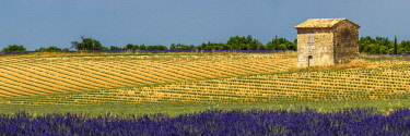 FRA10266AW Field of Lavender and Barn, Provence, France