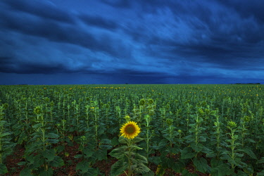 FRA10268AW Single Sunflower in Storm, Provence, France