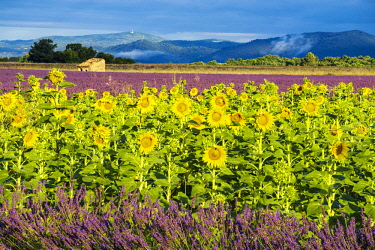 FRA10271AW Lavender and Sunflowers, Valensole, Provence, France