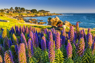 USA13132AW Pride of Madeira Flowers Along Coast, Pacific Grove, California, USA