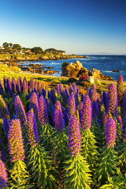 USA13133AW Pride of Madeira Flowers Along Coast, Pacific Grove, California, USA