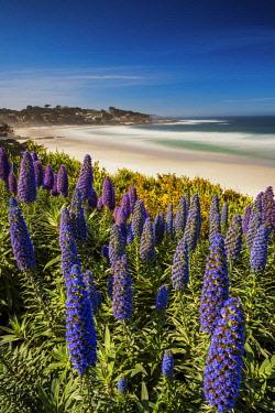 USA13135AW Pride of Madeira Flowers Along Coast, Carmel, California, USA