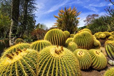 USA13165AW Golden Barrel Cacti in Desert Garden, Huntington Botanical Gardens, San Marino, California, USA