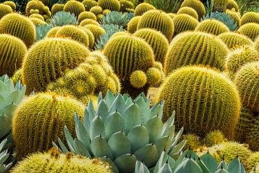 USA13166AW Golden Barrel Cacti & Agave, Huntington Botanical Gardens, San Marino, California, USA