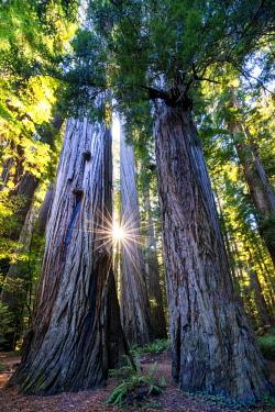 USA13300AW Sunburst Through  Redwood Trees, Jedediah Smith Redwood State Park, California, USA