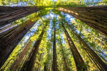 USA13302AW Towering Giant Redwood Trees, Jedediah Smith Redwood State Park, California, USA
