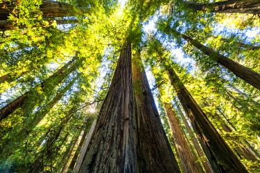 USA13303AW Towering Redwood Trees, Jedediah Smith Redwood State Park, California, USA