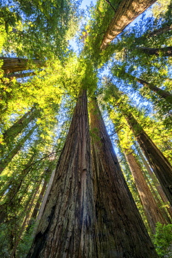 USA13304AW Towering Redwood Trees, Jedediah Smith Redwood State Park, California, USA