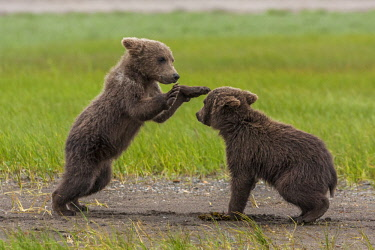 US02FZU0100 USA, Alaska, Katmai National Park, Hallo Bay. Coastal Brown Bear, Grizzly, Ursus Arctos. Twin grizzly bear cubs playing and wrestling.
