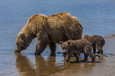 US02FZU0122 USA, Alaska, Katmai National Park, Hallo Bay. Coastal Brown Bear, Grizzly, Ursus Arctos. Grizzly bear mother getting a drink with her twin spring cubs.