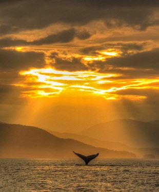 US02SWR0519 Humpback Whales (Megatpera novaengliae), Chatham Strait, Inside Passage, Alaska, USA