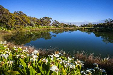 RE01114 Reunion island (French overseas department), Parc National de La Reunion (Reunion National Park), Piton de L'eau volcanic lake, Calla flowers (Calla Palustris)