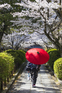 JAP1373AW Woman in kimono walking in garden with cherry blossom, Kyoto, Kansai, Japan (MR)
