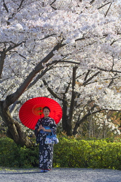JAP1379AW Woman in kimono under cherry blossom, Kyoto, Kansai, Japan (MR)