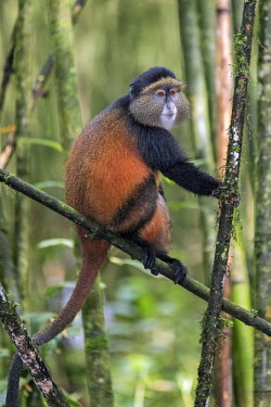 RW1281 Rwanda, Kinigi, Volcanoes National Park.  A Golden Monkey in bamboo forest on the slopes of Mount Sabyinyo.  This endangered species of Old World Monkey is only found in the Virunga Volcanoes and Nyun...