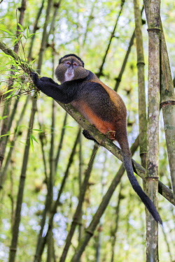 RW1282 Rwanda, Kinigi, Volcanoes National Park.  A Golden Monkey in bamboo forest on the slopes of Mount Sabyinyo.  This endangered species of Old World Monkey is only found in the Virunga Volcanoes and Nyun...