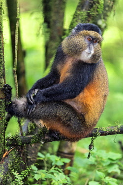 RW1283 Rwanda, Kinigi, Volcanoes National Park.  A Golden Monkey in bamboo forest on the slopes of Mount Sabyinyo.  This endangered species of Old World Monkey is only found in the Virunga Volcanoes and Nyun...