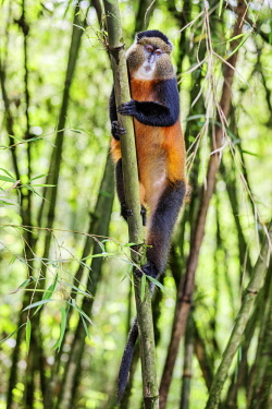 RW1284 Rwanda, Kinigi, Volcanoes National Park.  A Golden Monkey in bamboo forest on the slopes of Mount Sabyinyo.  This endangered species of Old World Monkey is only found in the Virunga Volcanoes and Nyun...