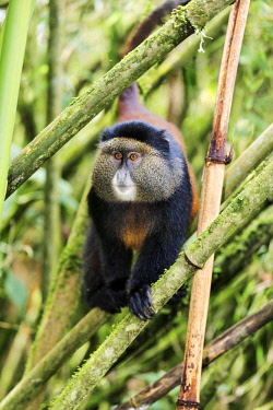 RW1285 Rwanda, Kinigi, Volcanoes National Park.  A Golden Monkey in bamboo forest on the slopes of Mount Sabyinyo.  This endangered species of Old World Monkey is only found in the Virunga Volcanoes and Nyun...
