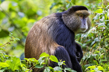 RW1286 Rwanda, Kinigi, Volcanoes National Park.  A Golden Monkey in bamboo forest on the slopes of Mount Sabyinyo.  This endangered species of Old World Monkey is only found in the Virunga Volcanoes and Nyun...