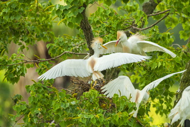 US19BJY0063 USA, Louisiana, Jefferson Island. Cattle egrets fighting in tree.