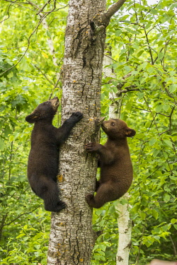 US24BJY0003 USA, Minnesota, Minnesota Wildlife Connection. Captive black bear cubs climbing tree.