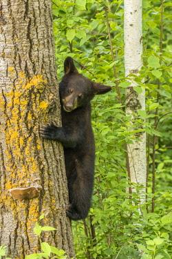 US24BJY0005 USA, Minnesota, Minnesota Wildlife Connection. Captive black bear cub climbing tree.