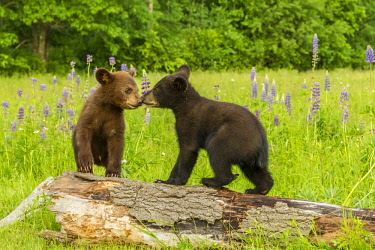 US24BJY0019 USA, Minnesota, Minnesota Wildlife Connection. Captive black bear cubs on log.