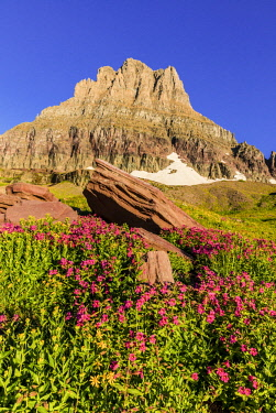 US27CHA3686 Alpine wildflowers with Mount Clements at Logan Pass in Glacier National Park, Montana, USA