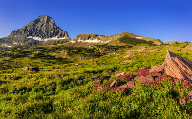 US27CHA3687 Alpine wildflowers with Mount Reynolds at Logan Pass in Glacier National Park, Montana, USA
